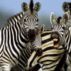 Uganda sends zebra's and bushbucks to Thailand following Yingluck Shinawatra's visit