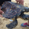 Dead turtles, dolphins wash up at Phuket's Mai Khao Beach