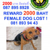 Missing Dog in Chaweng help needed in finding her