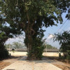 Officials refuse to cut holy tree where 'elder ghost' lives