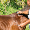 Pony in Samui that needed community help gets prayers answered