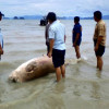 Phuket sea cow 'decapitated for teeth'