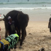 Phuket police on the lookout for mahout and his tourist attraction elephant
