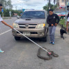 Phuket hitch-hiking python captured, released