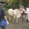 Suspected foot-and-mouth infection among cattle in Buri Ram