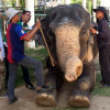 Phuket elephants DNA tested to curtail trafficking