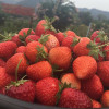 Strawberry fest underway in Chiang Mai