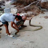 Giant King Cobra returned to nature in joint Thai/British rescue operation Samui