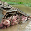70 pigs drown after truck flips into Suphan Buri canal