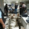 Threatened Cat Skin Smugglers Arrested in Chiang Mai
