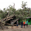 Tree Fall: Woman loses house to 100-year-old tree