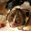 Slow loris saved from high-voltage cables in Phuket Town