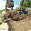Wild elephant died three days after being rescued from stream