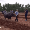 """M  Video: """"Oohoo! Farangs show the Thais how to plow with a buffalo!"""""""