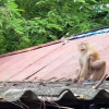 Concerns over Phuket wild monkeys as they risk entering homes to steal food