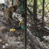 Facebook user calls for urgent rescue of monkey from temple cage