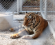 Over half of the captive tigers taken from the Tiger Temple three years have died of tongue paralysis from stress