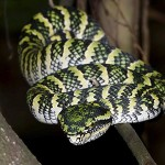 snakes waglers pit viper