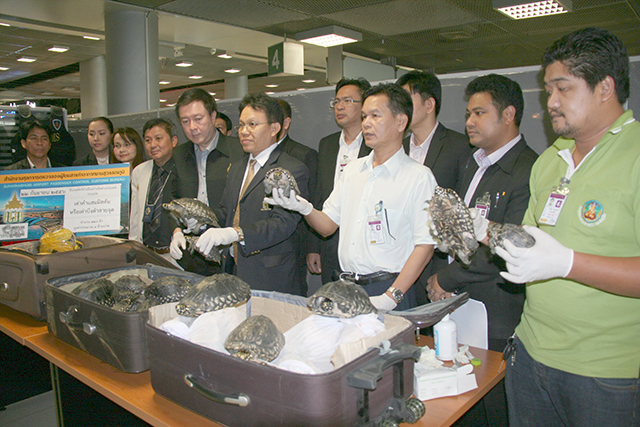 Crocodiles on the loose and turtles rocking up air miles | Samui Times