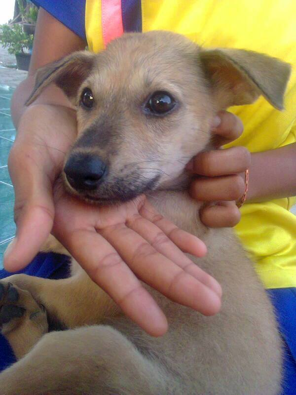 Cute little puppy looking for a home in time for Christmas | Samui Times