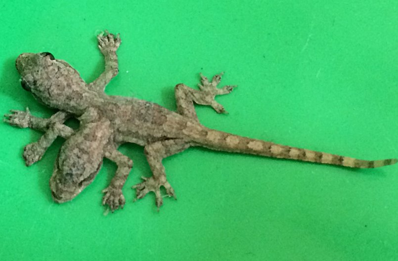 Two headed gecko believed to bring luck | Samui Times