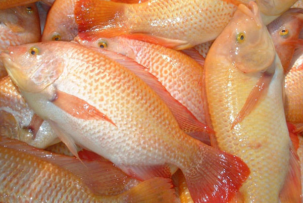 No cause for alarm after man killed by flesh eating bug for Is tilapia a man made fish