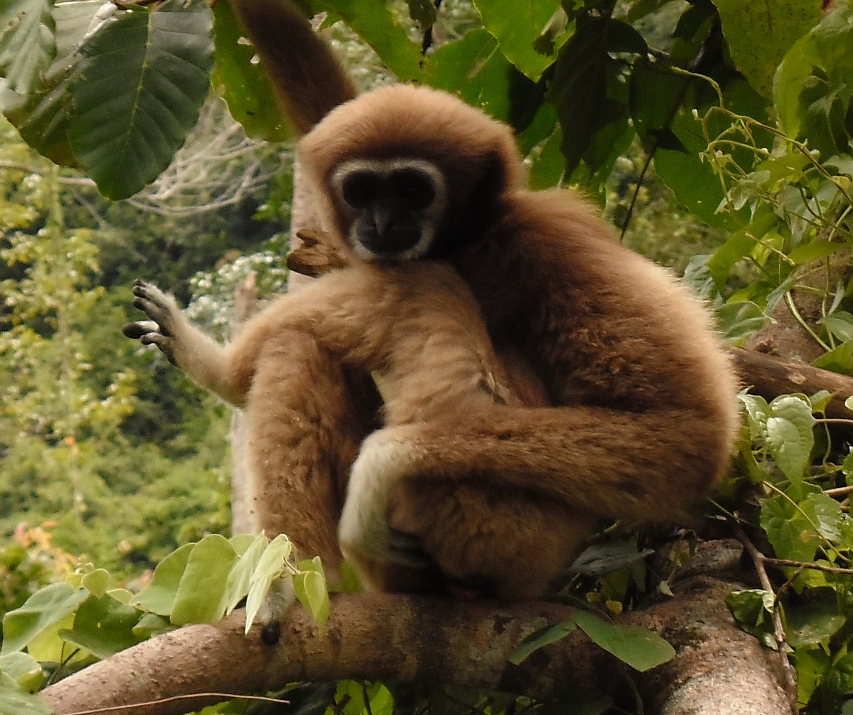 Gibbon sighting on the mountain road between Maenam and Lamai | Samui Times