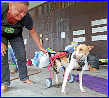 New legs for Maa the temple dog | Samui Times