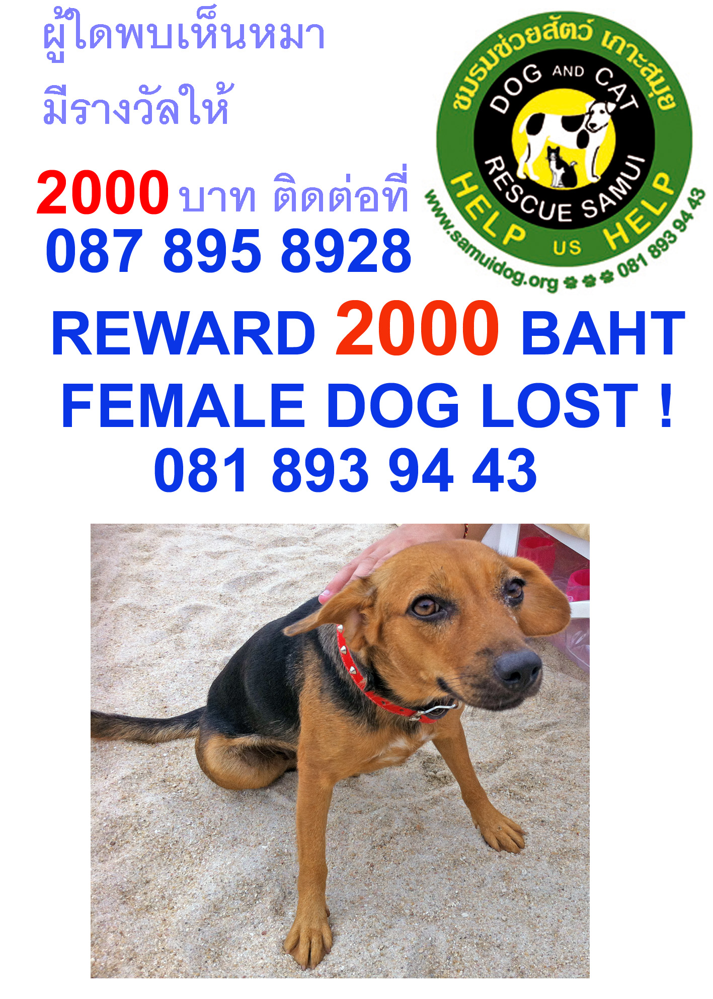 Missing Dog in Chaweng help needed in finding her | Samui Times