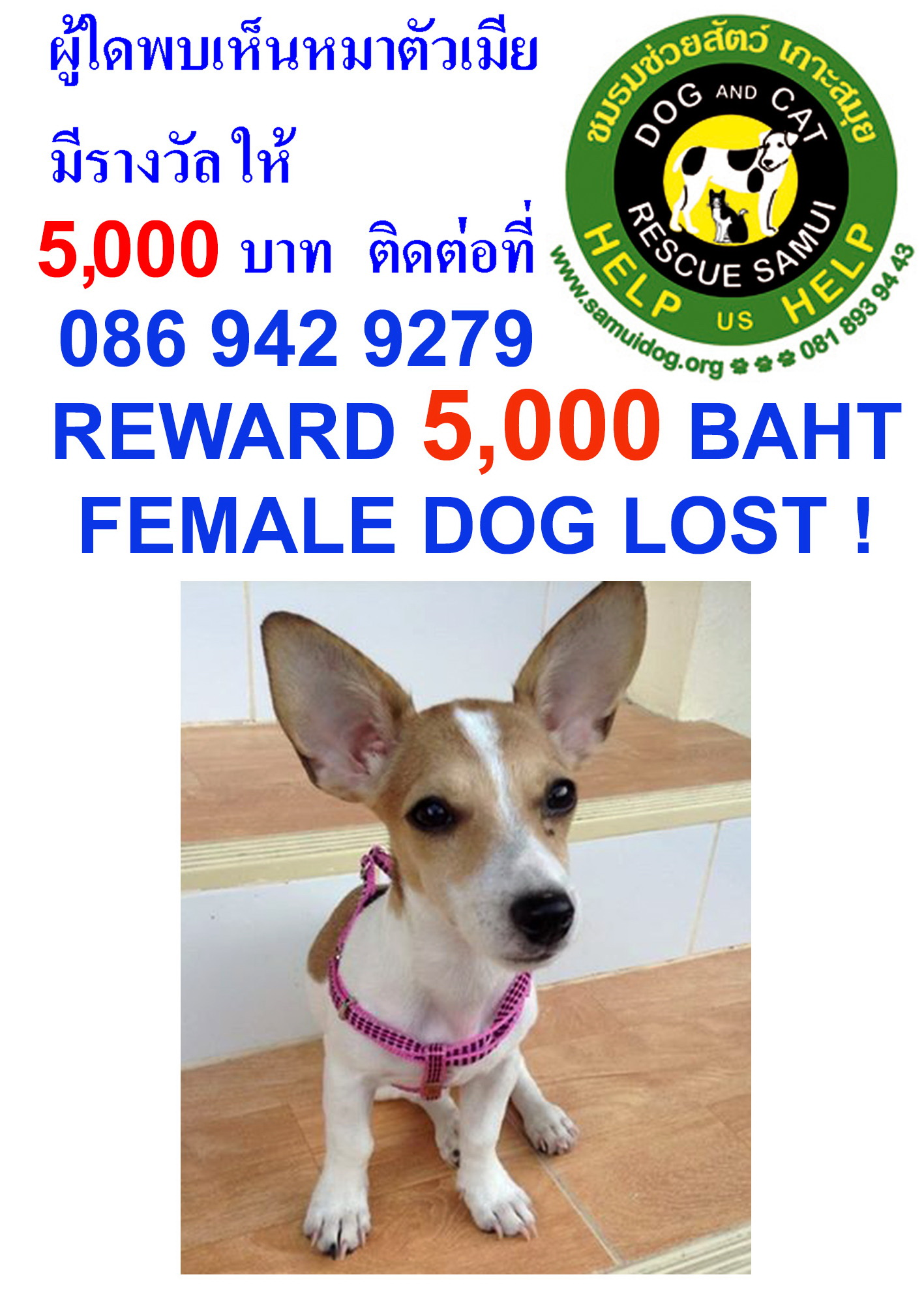 Missing Jack Russell called Jeanie – reward | Samui Times