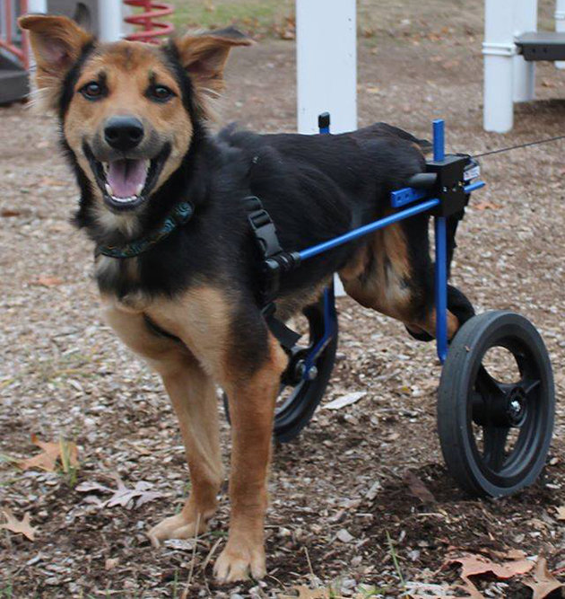 Paralyzed dog from Thailand gets a new chance of life in Canada | Samui Times