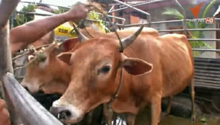 Public warned to avoid eating raw cattle meat due to disease | Samui Times