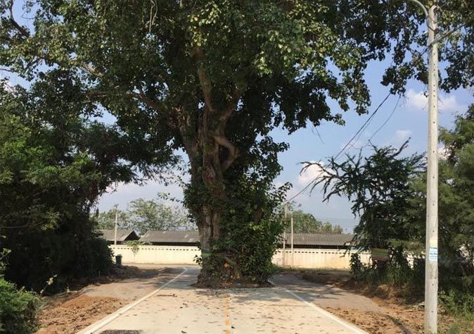 Officials refuse to cut holy tree where 'elder ghost' lives | Samui Times