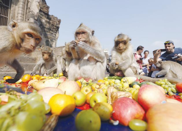 Lopburi steps up efforts to prevent electrical accidents with monkeys | Samui Times