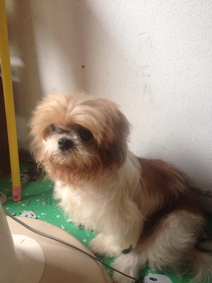 Little dog found in Chaweng | Samui Times
