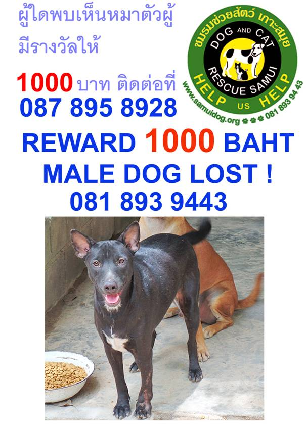 Dog missing from Chaweng | Samui Times
