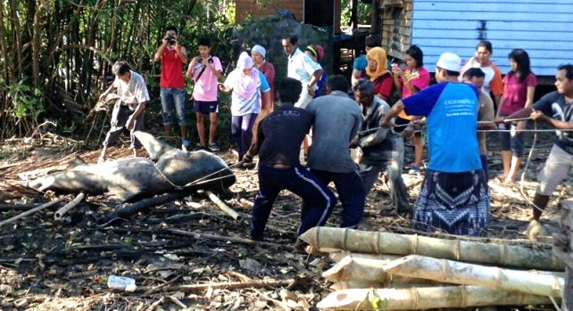 Giant shark near Phuket ends up on barbecues | Samui Times
