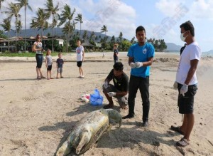dead turtle in Samui