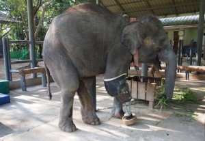 three legged Thai elephant