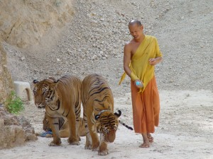 tiger temple missing tigers in Thailand