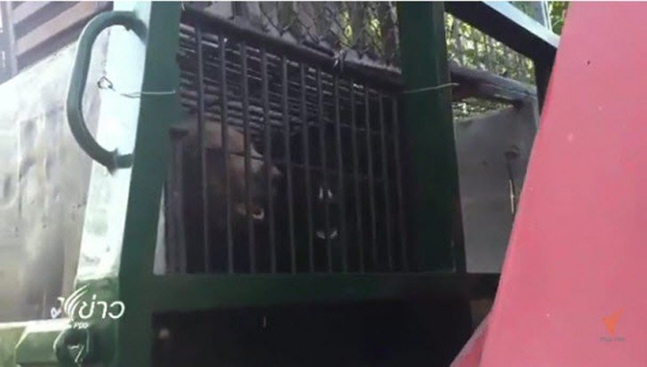Standoff at Tiger Temple ends with bears removed to new house in Chonburi | Samui Times