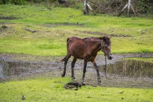 pony in samui in need of help 1