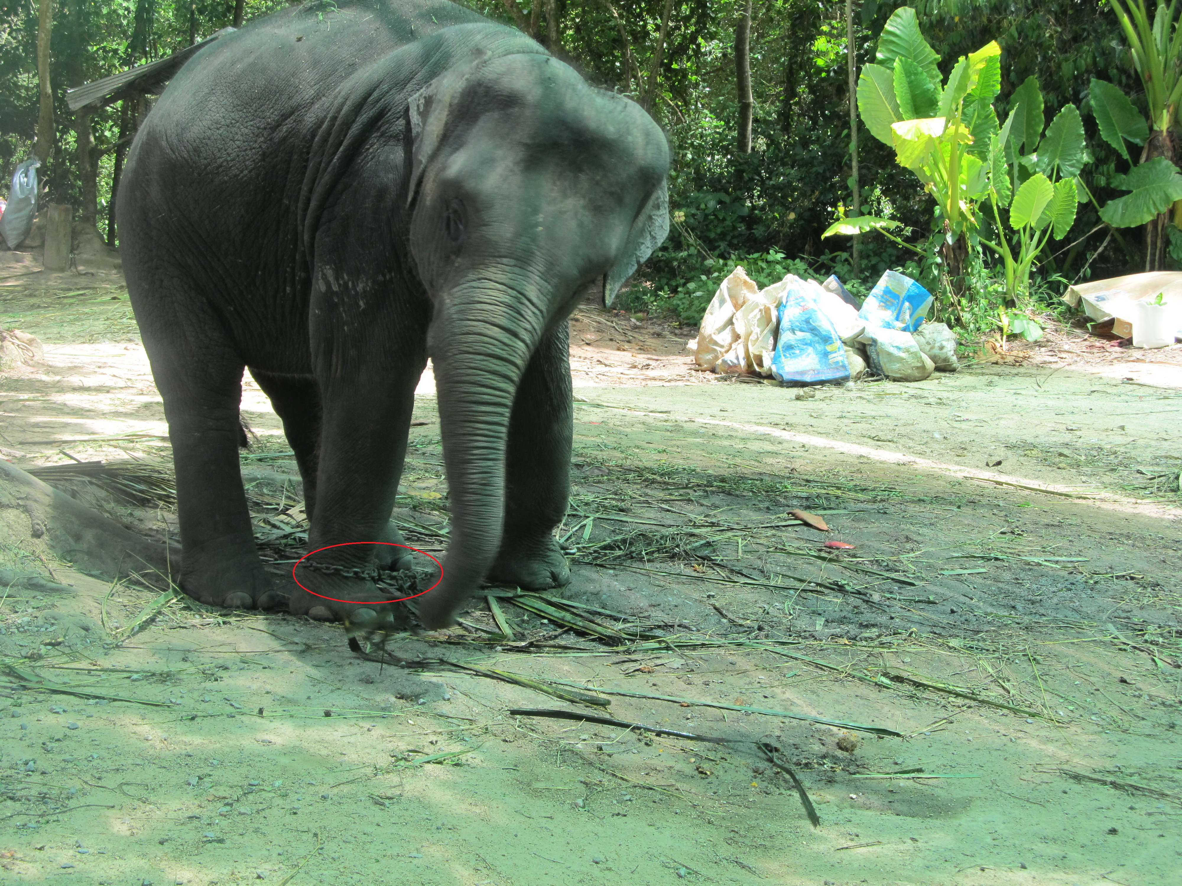 Letter to the editor – Concern for the elephants in Samui Na Muang Park | Samui Times