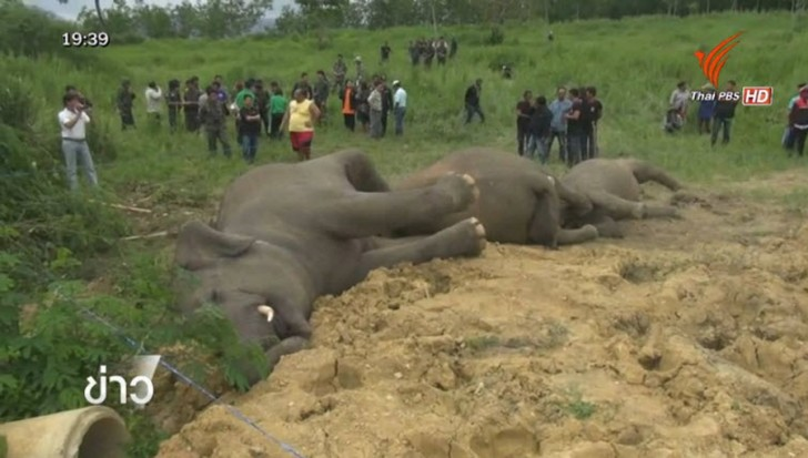 The mystery of the three elephants – electrocution suspected | Samui Times
