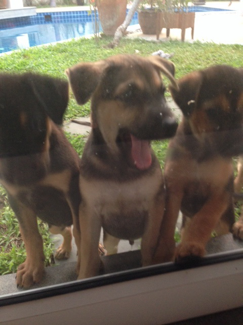 Puppies looking for a home in Koh Samui | Samui Times