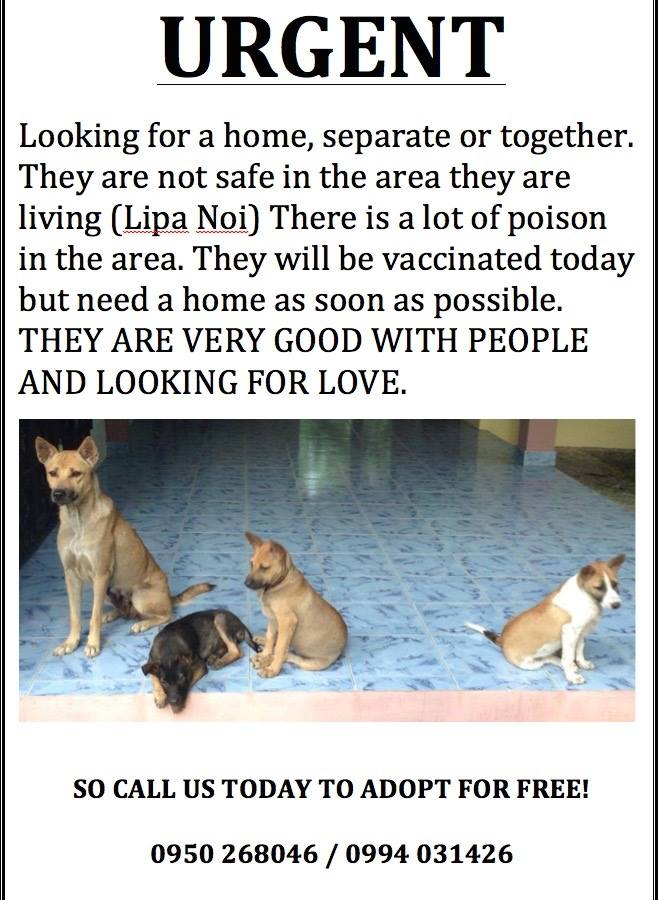 Dogs need a home in Koh Samui | Samui Times