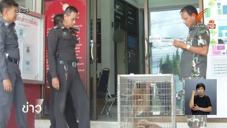 Three gibbons rescued | Samui Times