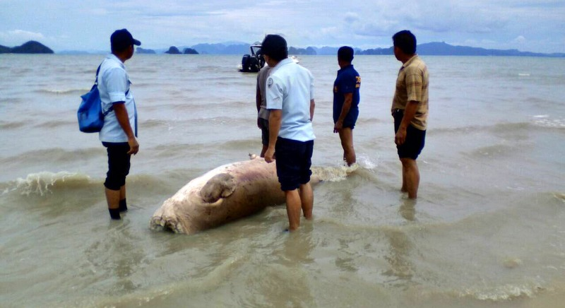 Phuket sea cow 'decapitated for teeth' | Samui Times