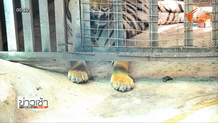 Dusit Zoo holds emergency tiger escape drill | Samui Times