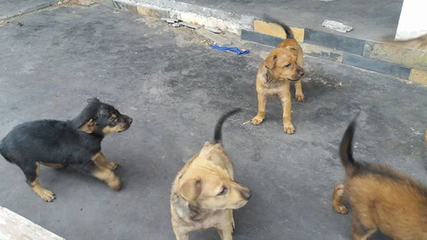 Puppies in Nathon looking for forever homes | Samui Times